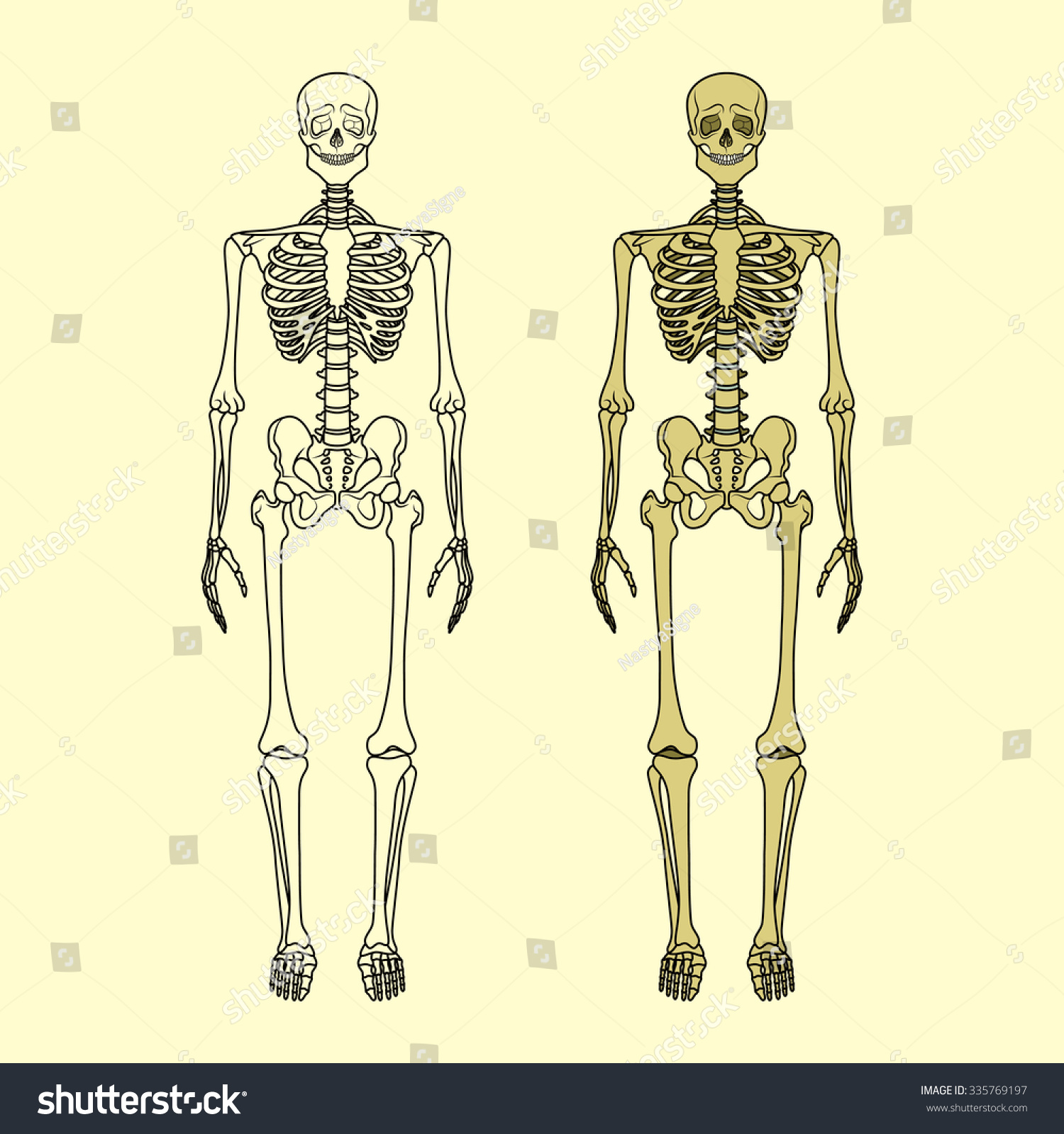 human skeleton vector illustration anatomy human stock vector, Skeleton