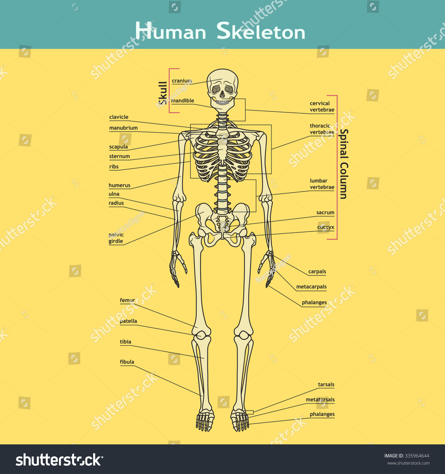 Illustration Skeletal System Labels Human Skeleton Stock Vector