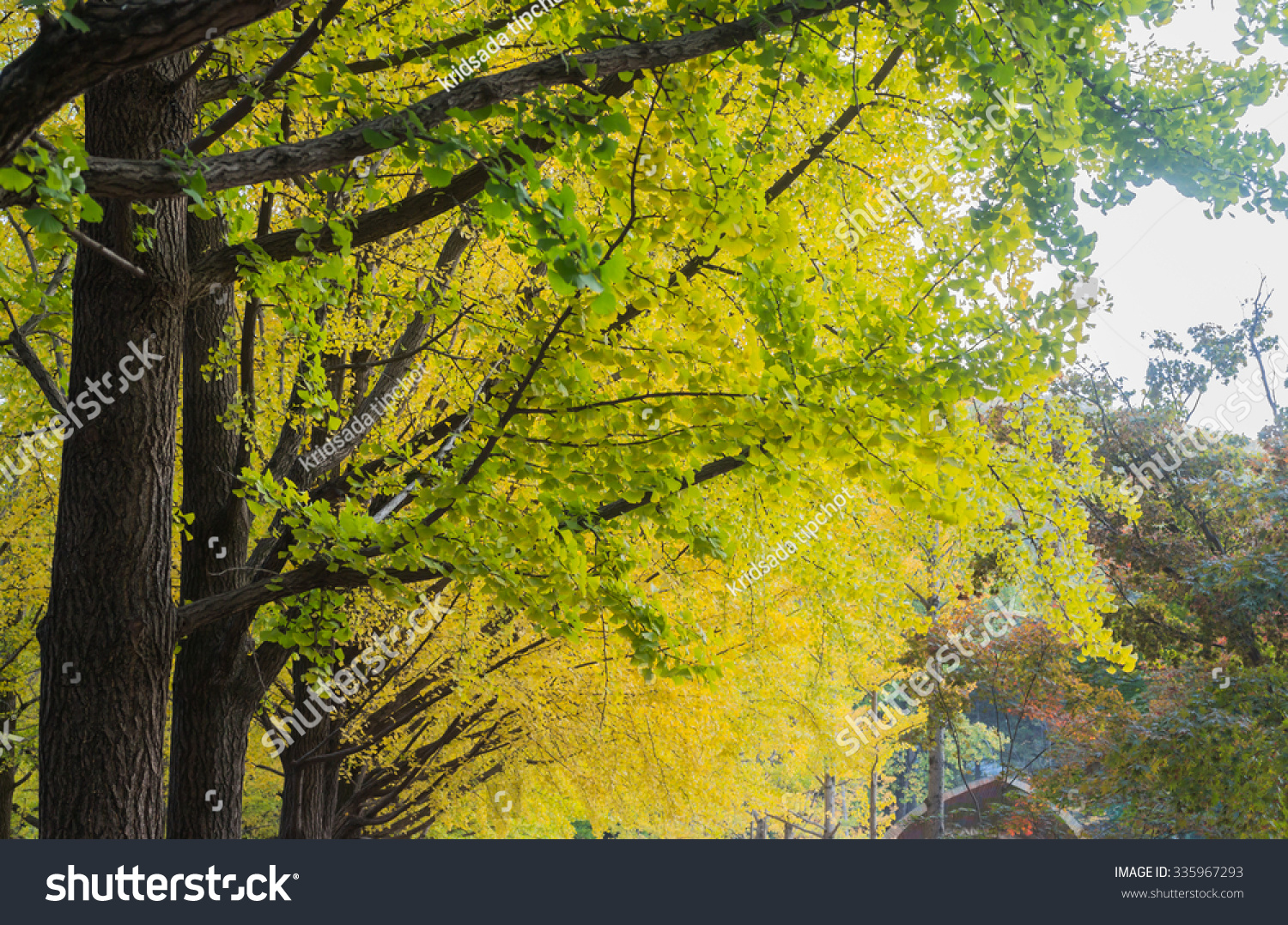 Colorful Trees Change Leaves Colors Spring Stock Photo 335967293 ...