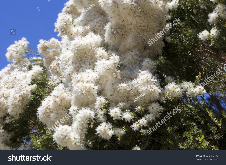 Masses White Fluffy Flowers Australian Melaleuca Stock Photo Edit