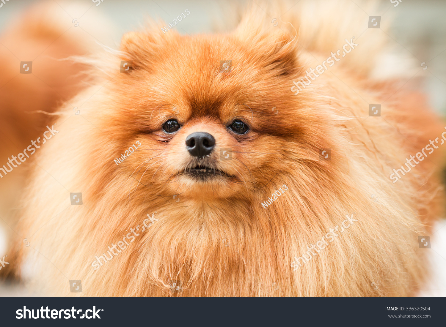 Brown pomeranian puppy dog #336320504