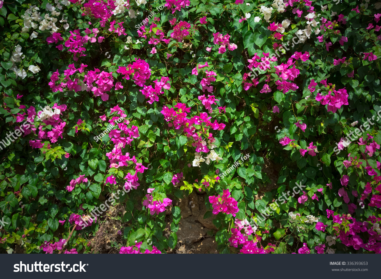 Pink Flowers On Bush Turkey November Stock Photo Download Now