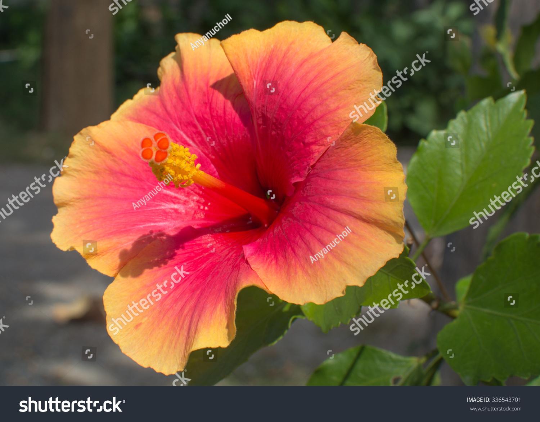 Hibiscus Flower Ez Canvas