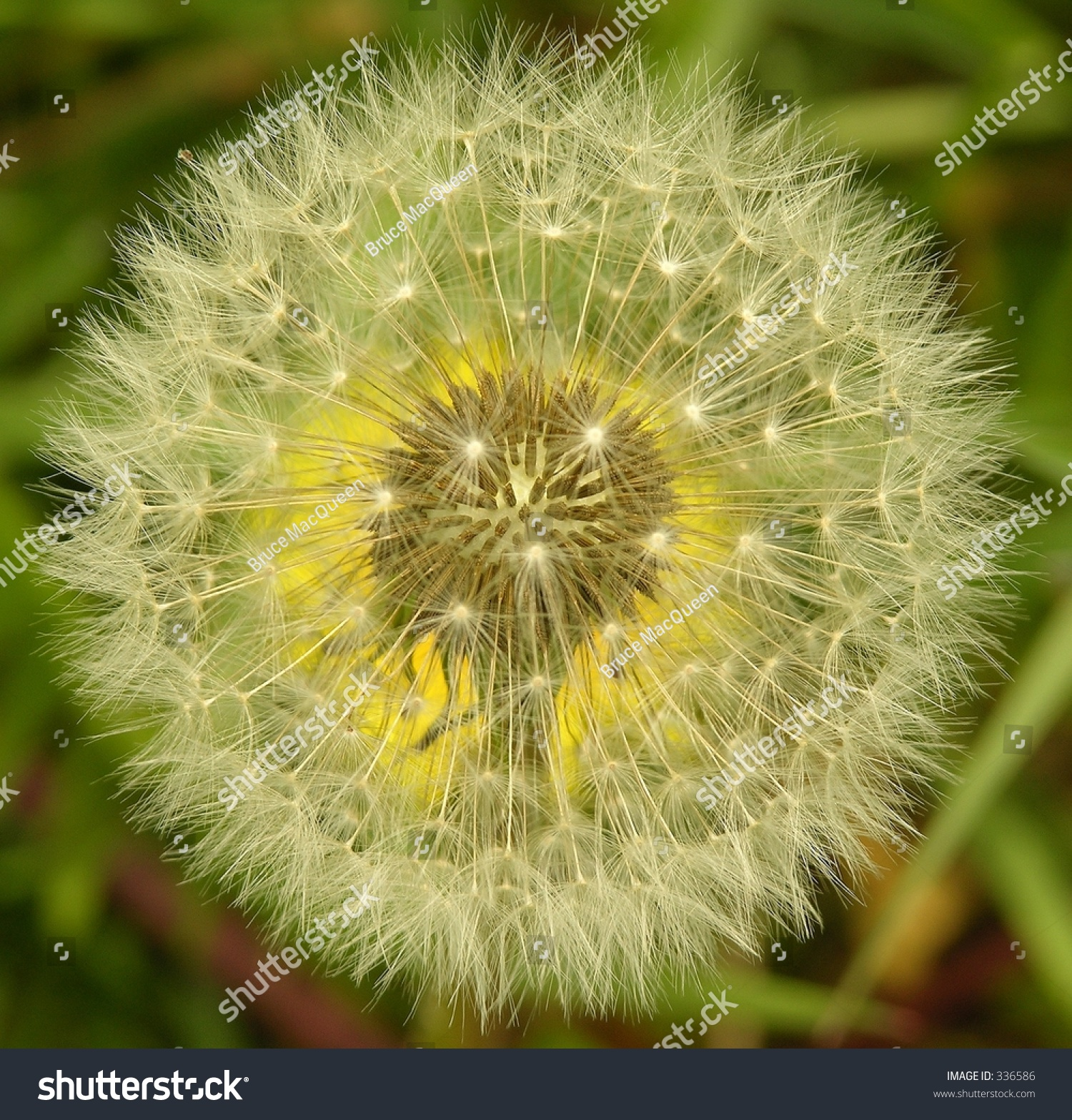 Dandelion Seeds Ready To Spread With The Wind. Stock Photo