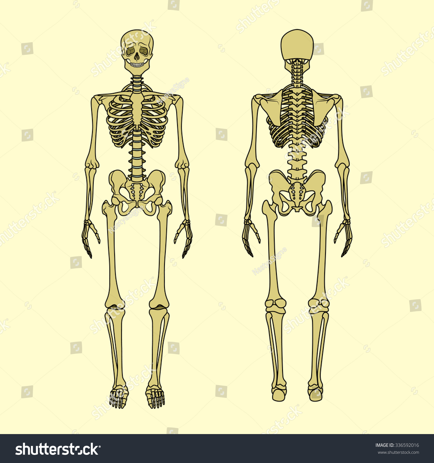 Human Skeleton Front Rear View Didactic Stock-Vektorgrafik 336592016 ...