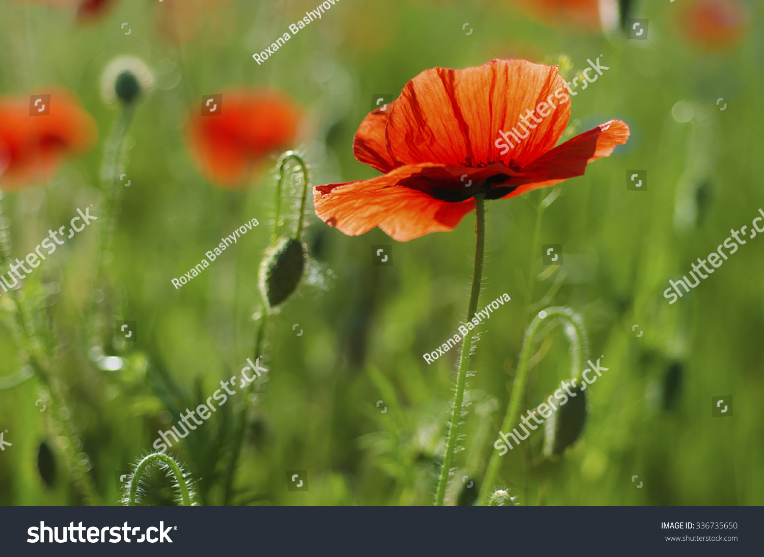 Red poppy in a green grass field, natural floral background #336735650