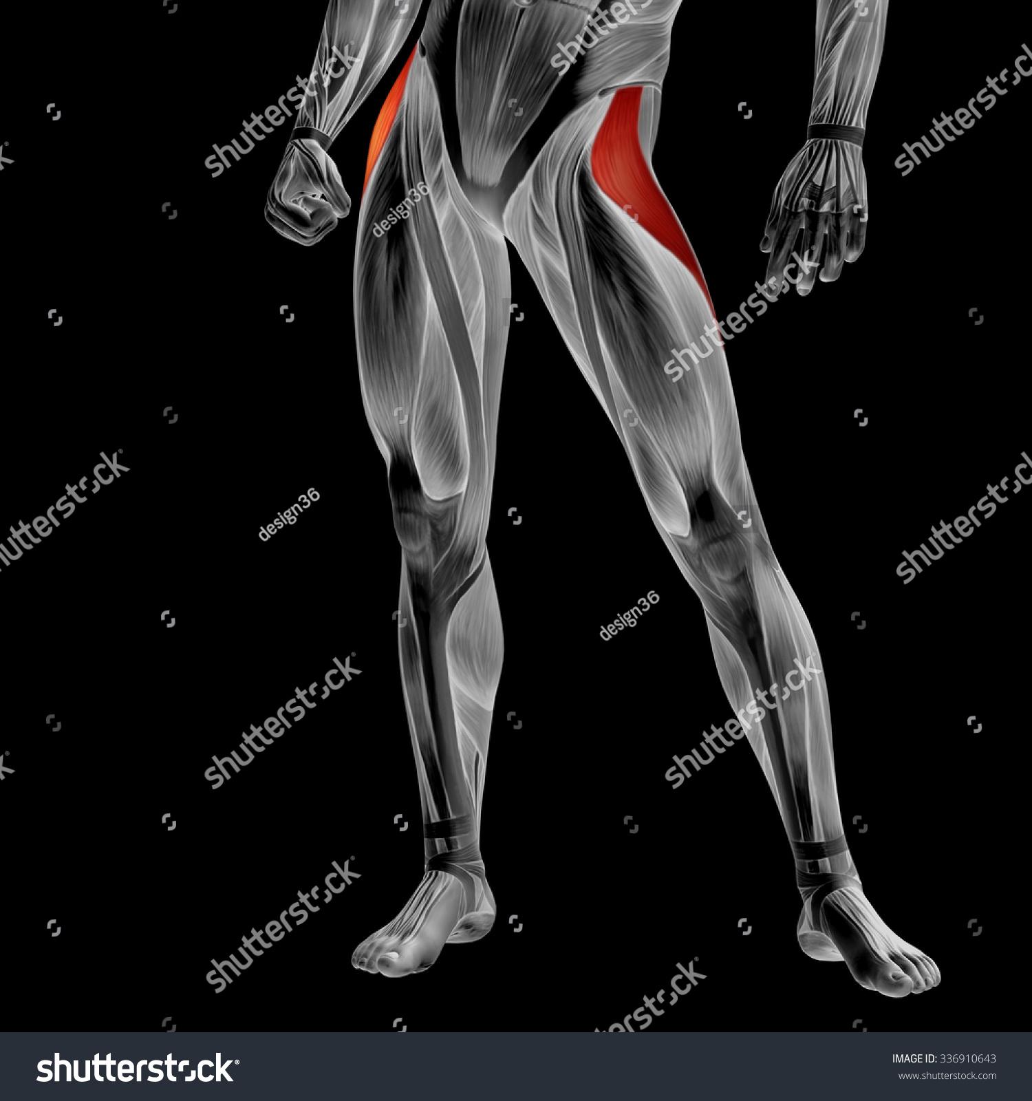 Beautiful Upper Leg Anatomy Frieze - Anatomy and Physiology Tissue ...