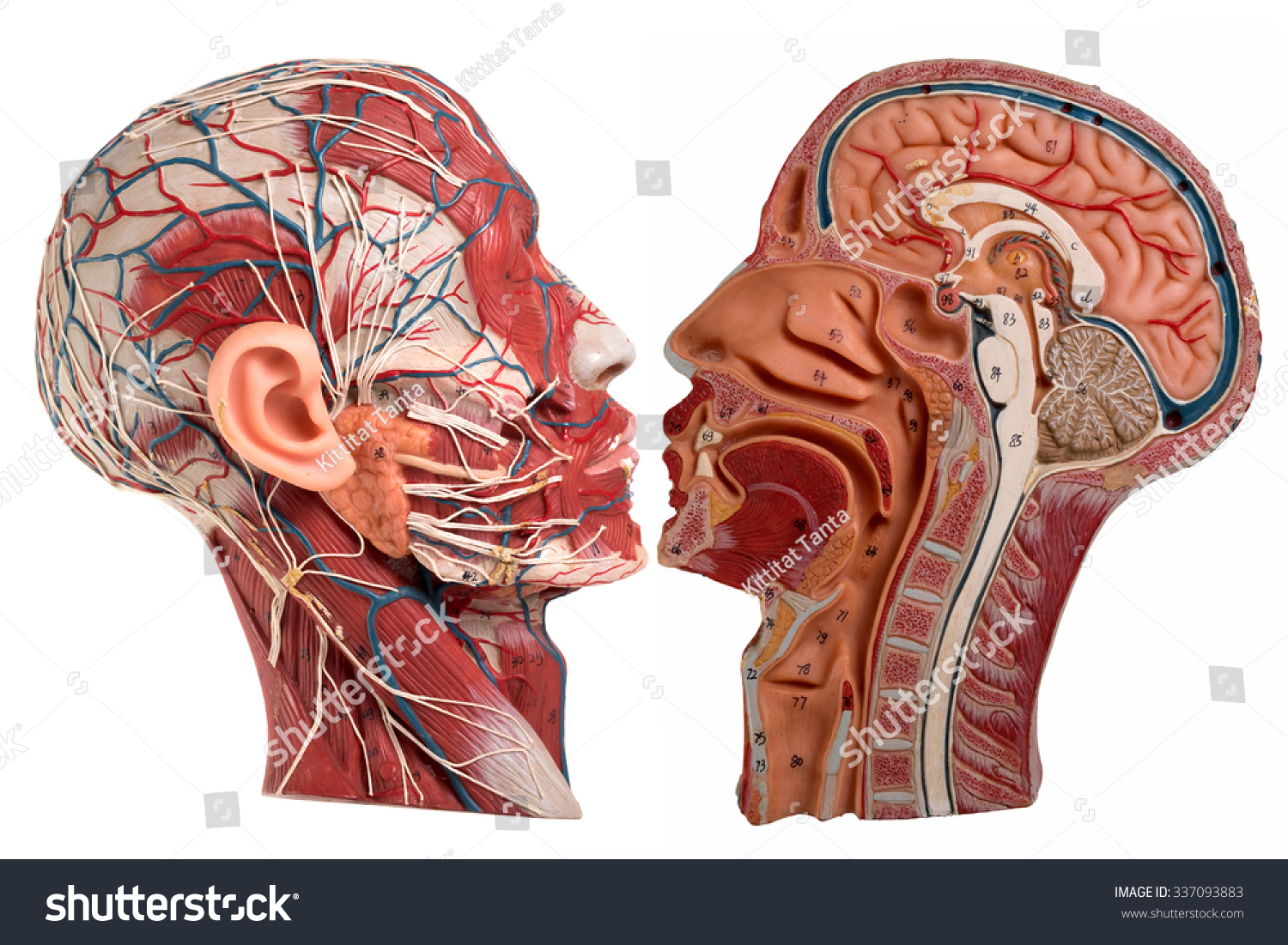 Model Human Face Anatomy Stock Photo (Edit Now) 337093883 - Shutterstock