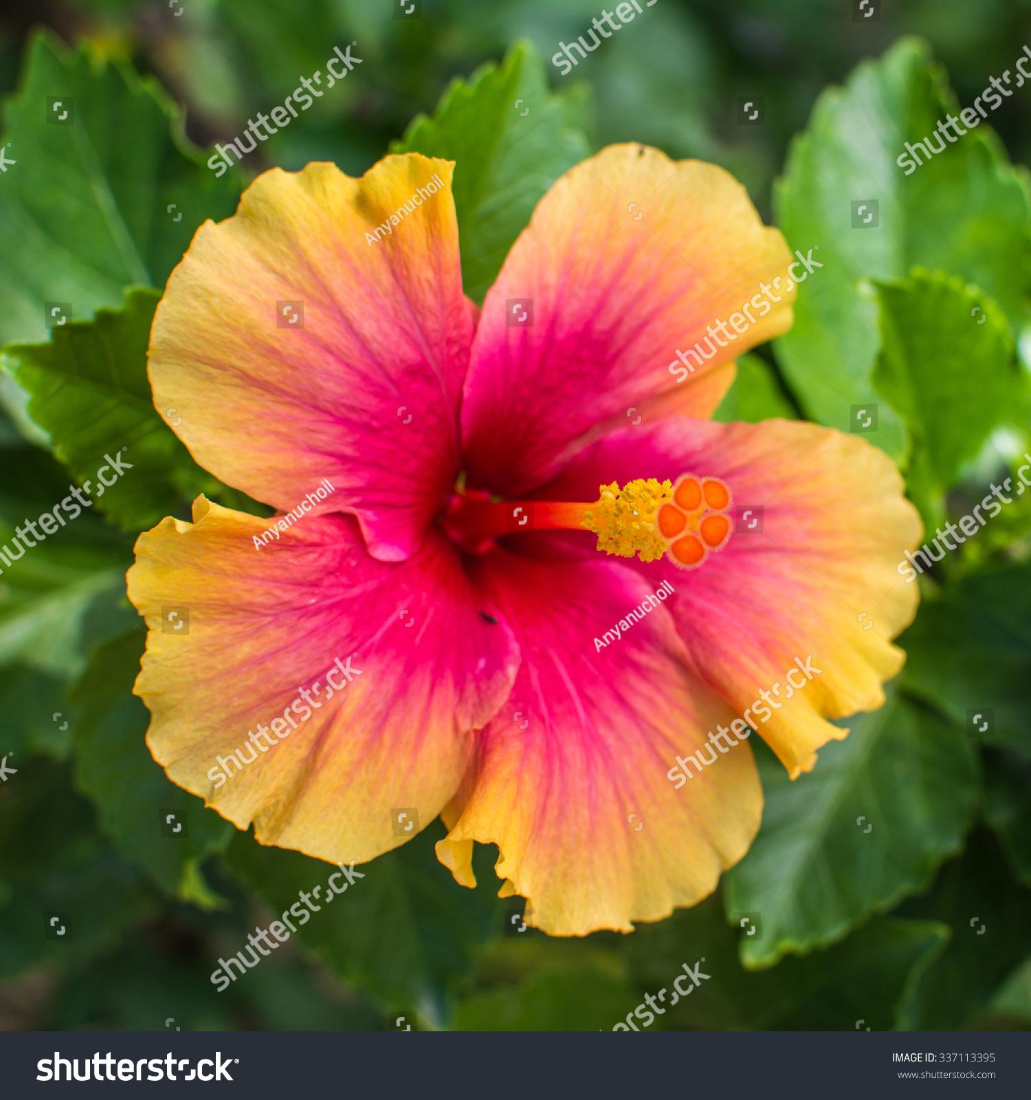 China rose flower chinese hibiscus hibiscus stock photo edit now china rose flower chinese hibiscus hibiscus rosa sinensis hawaiian hibiscus shoe izmirmasajfo