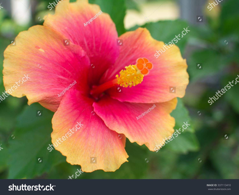 China Rose Flower Chinese Hibiscus Hibiscus Stock Photo Edit Now