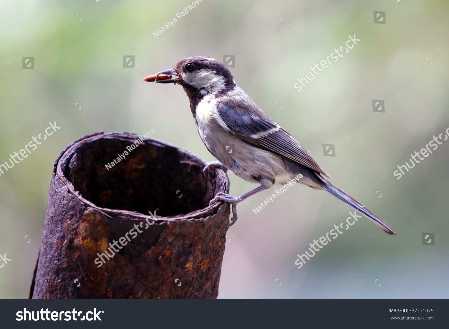 Lactating tit, Tit mom in winter with a caterpillar feeding Chicks, Parus  major,