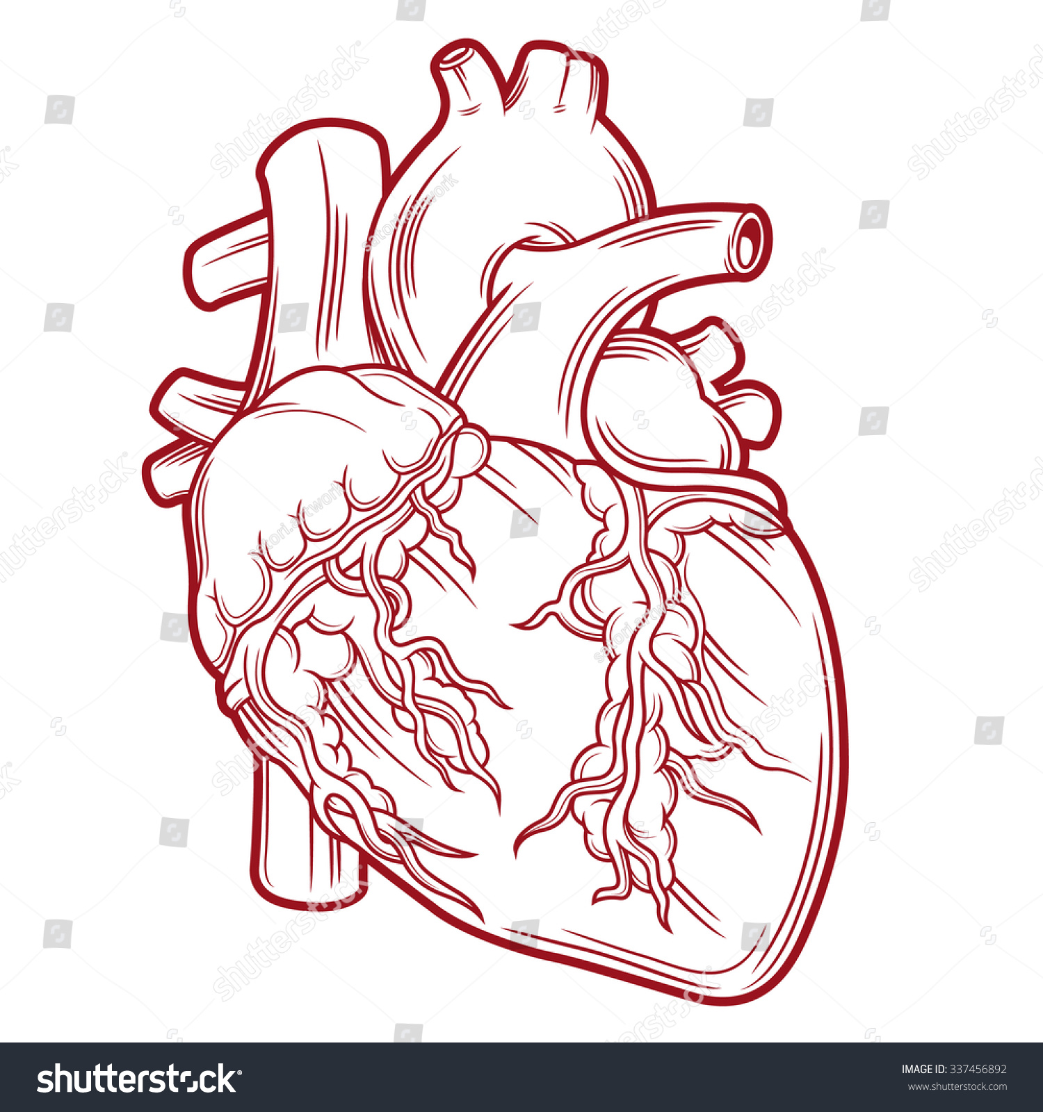 Royalty Free Anatomical Heart 337456892 Stock Photo Avopix