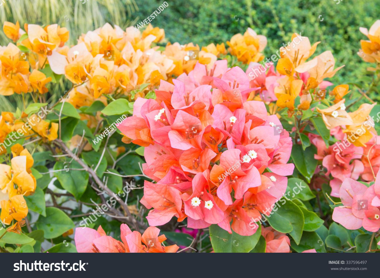 Bougainvillea flower garden fresh flowers beautiful stock photo bougainvillea flower in garden fresh flowers beautiful flowers izmirmasajfo