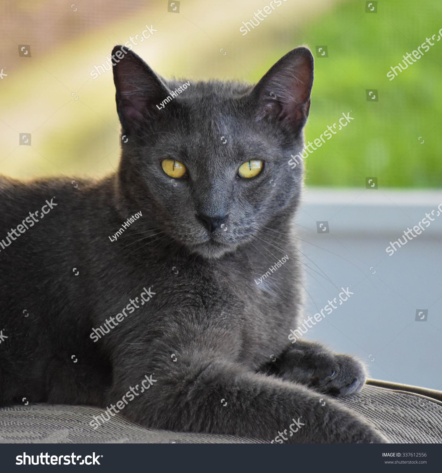 Portrait Russian Blue Cat Stock Shutterstock