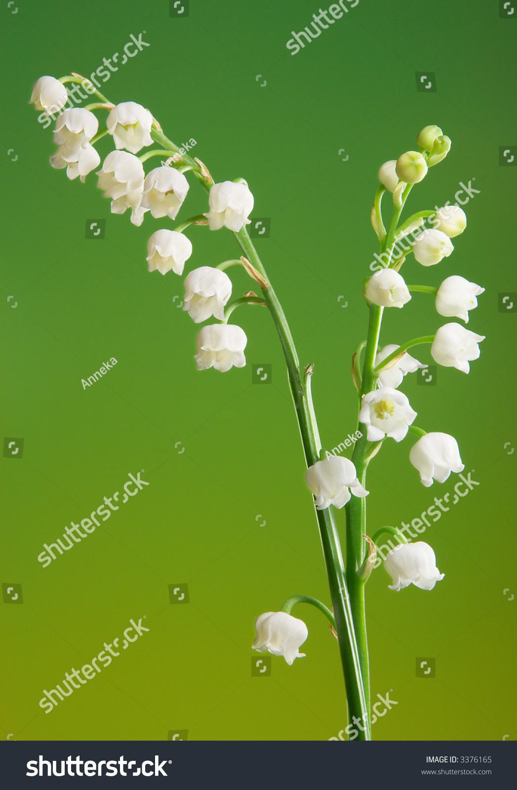 Two fragile twigs beautiful lilyofthevalley flowers stock photo two fragile twigs of beautiful lily of the valley flowers izmirmasajfo