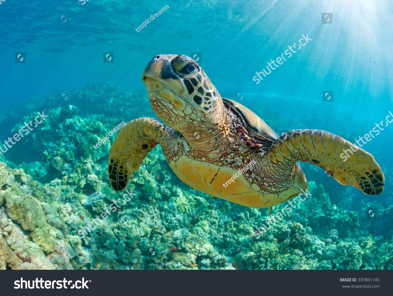 sea turtle close over coral reef stock photo 337861145 shutterstock
