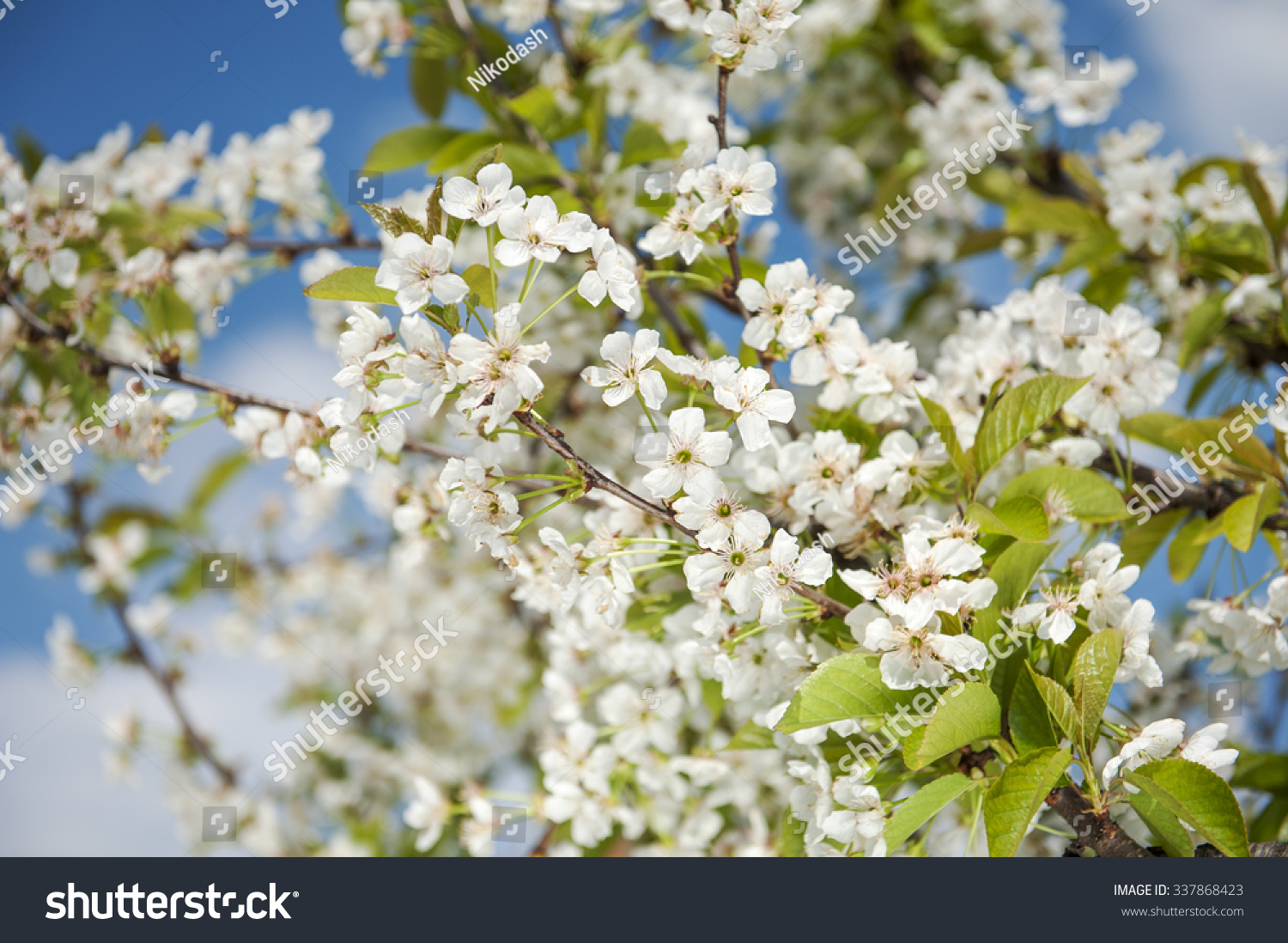 Beautiful Flowering Plums Tree In Your Spring Looks Ez Canvas