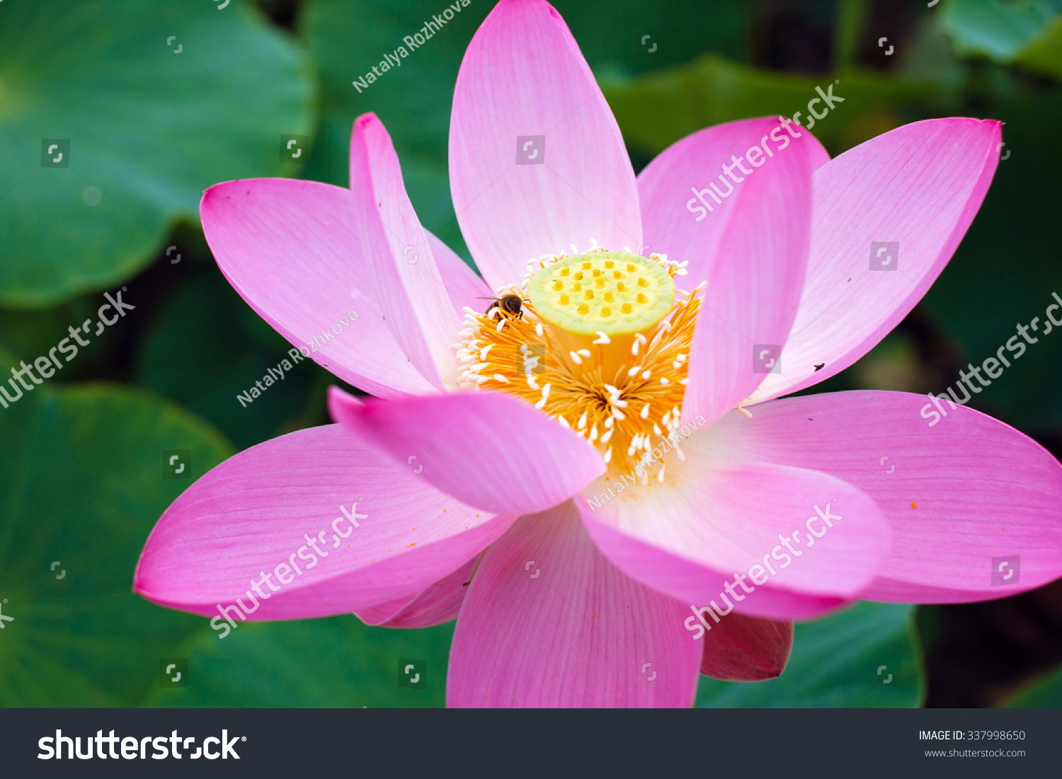 Lotus Flower Rare Flower Bee On Stock Photo Edit Now 337998650