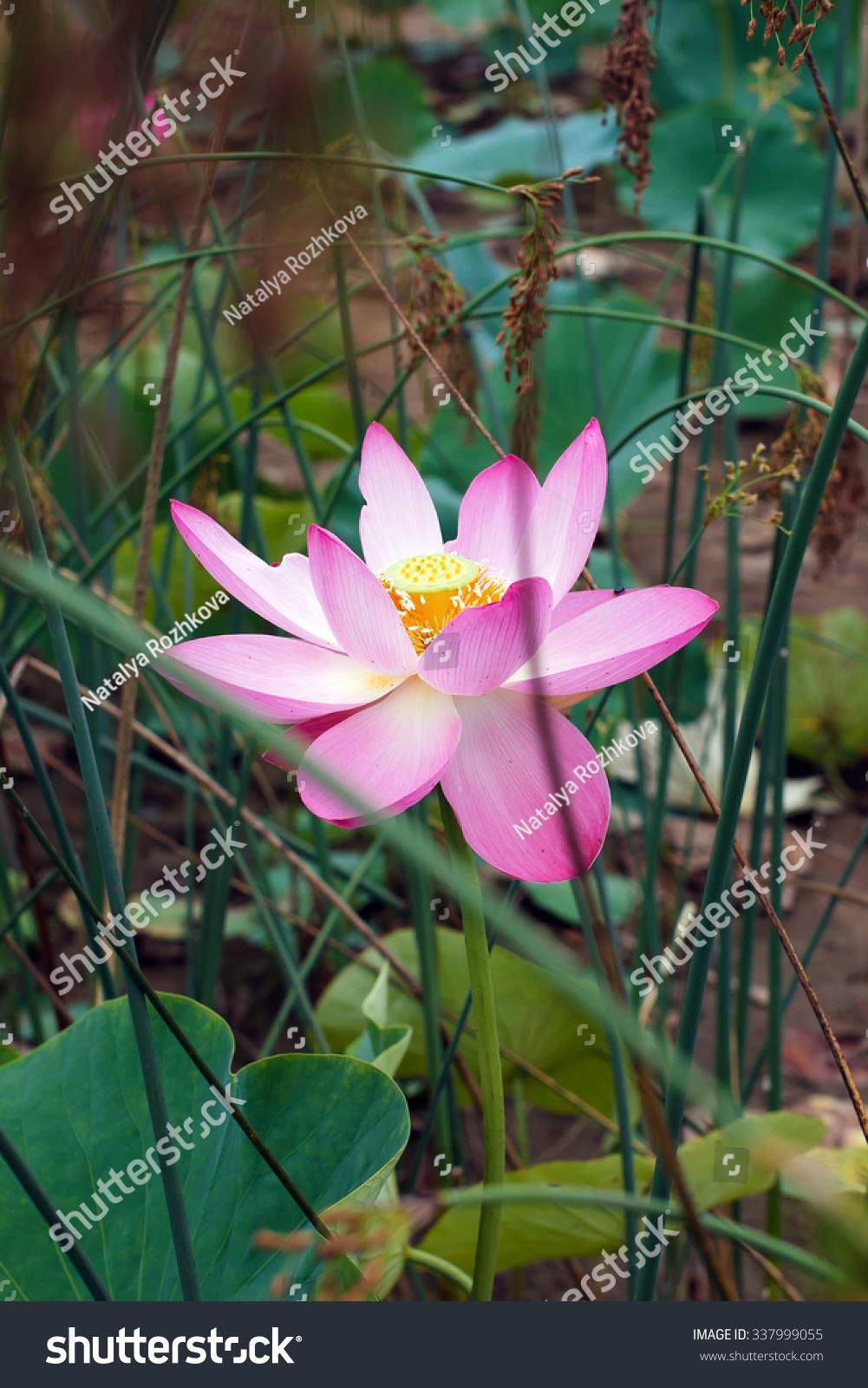 Royalty Free Lotus Flower Rare Flower Ancient 337999055 Stock