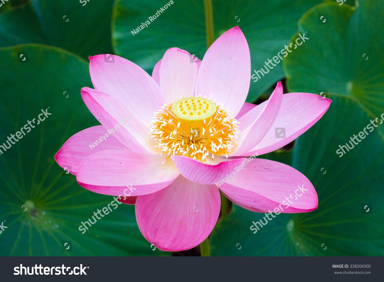 Lotus flower symbol purity symbol buddhism stock photo royalty free lotus flower symbol purity symbol buddhism stock photo royalty free 338006900 shutterstock mightylinksfo