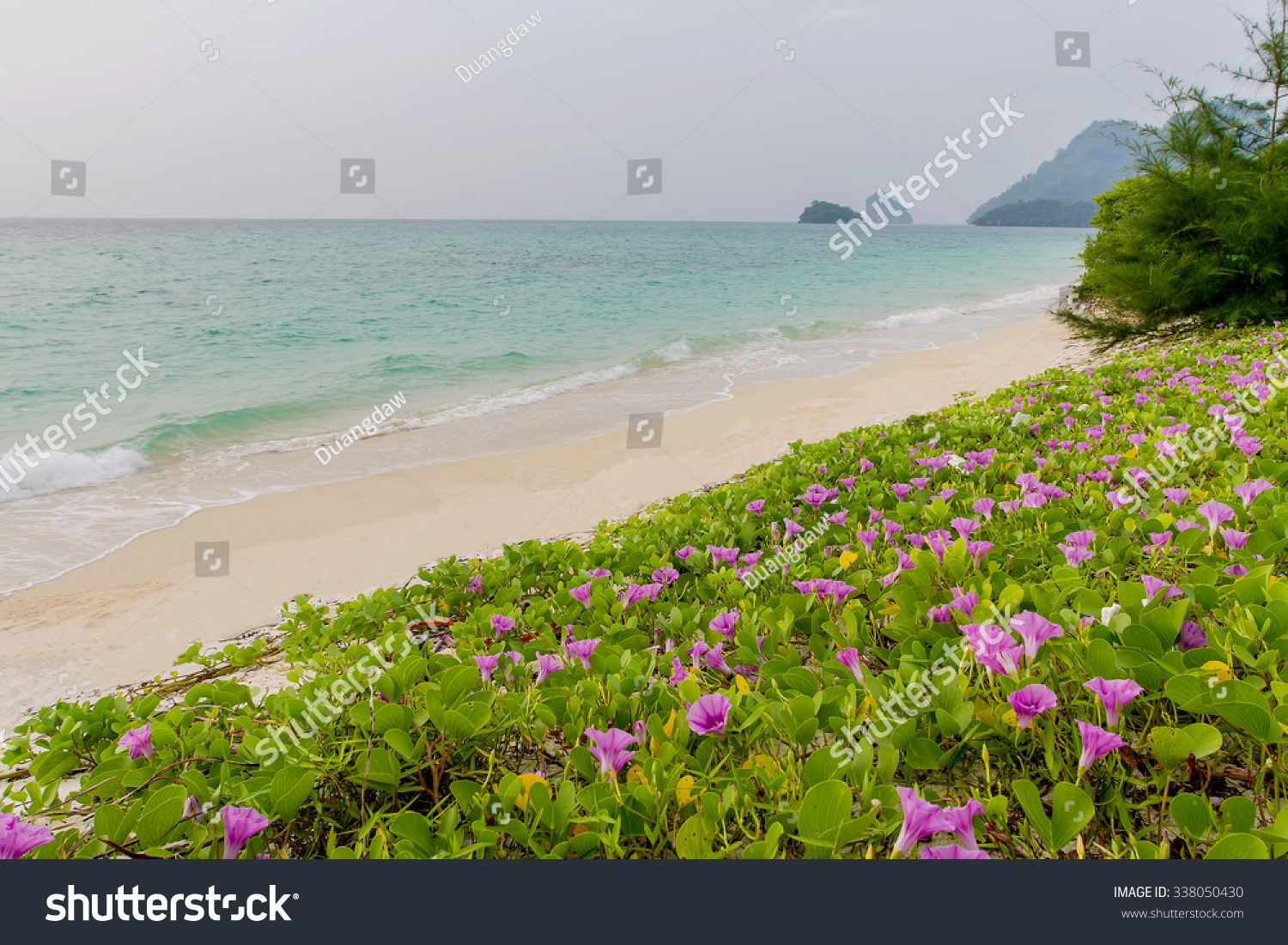 Royalty Free Pink Flowers Ipomoea Pes Caprae And 338050430 Stock