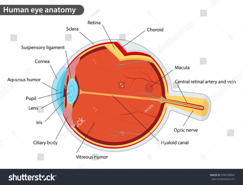 Cat Eye Anatomy Topsimages