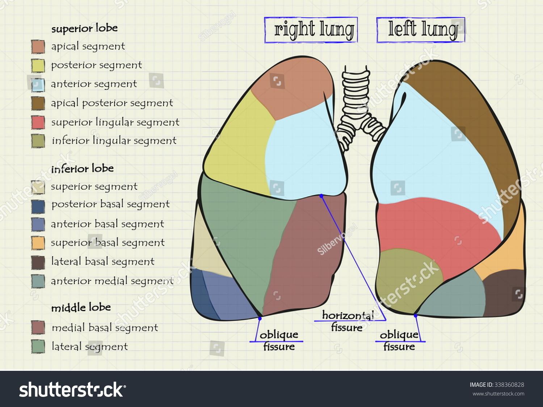 Vector Drawing Diagram Part Human Lung Stock Vector