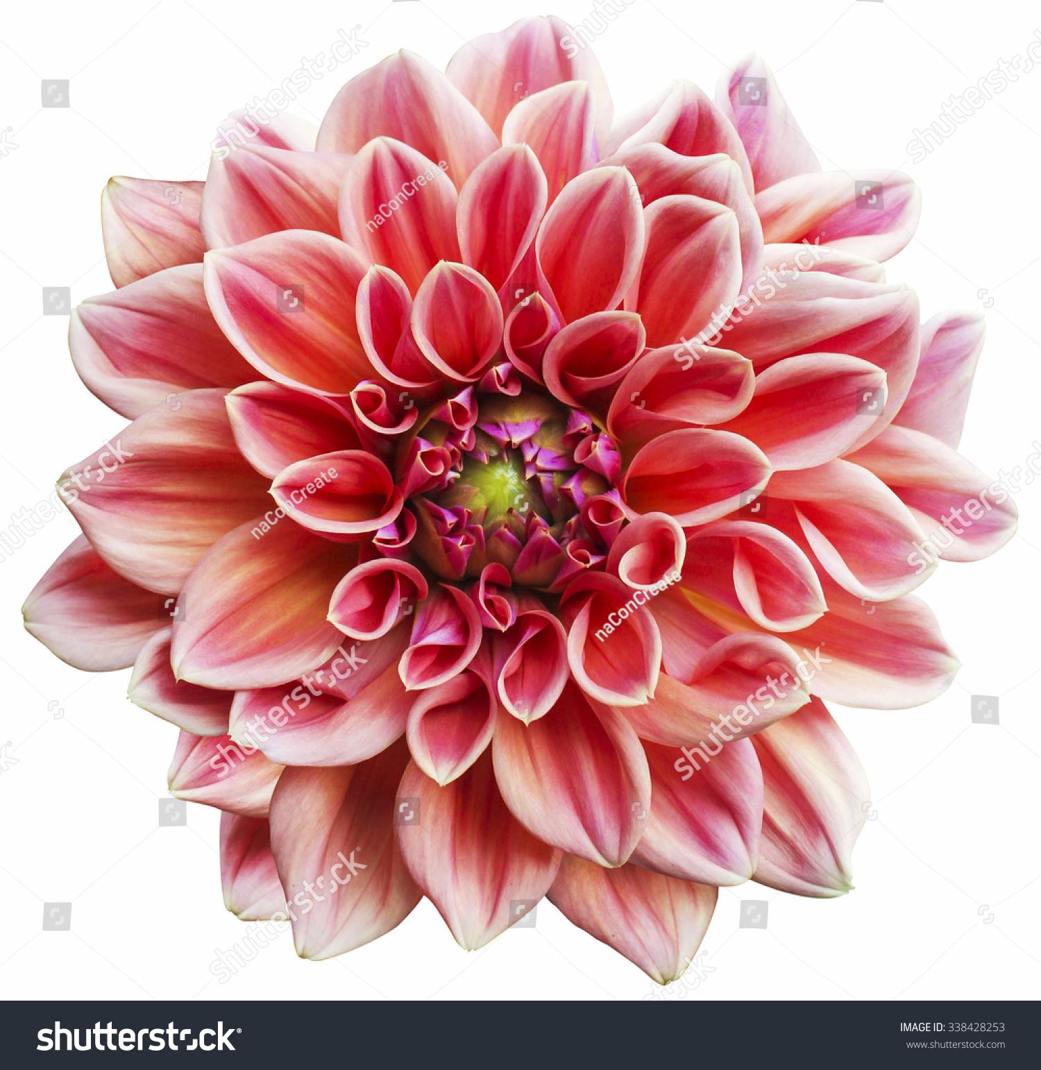 Pink dahlia flower isolated on white stock photo edit now pink dahlia flower isolated on white background izmirmasajfo