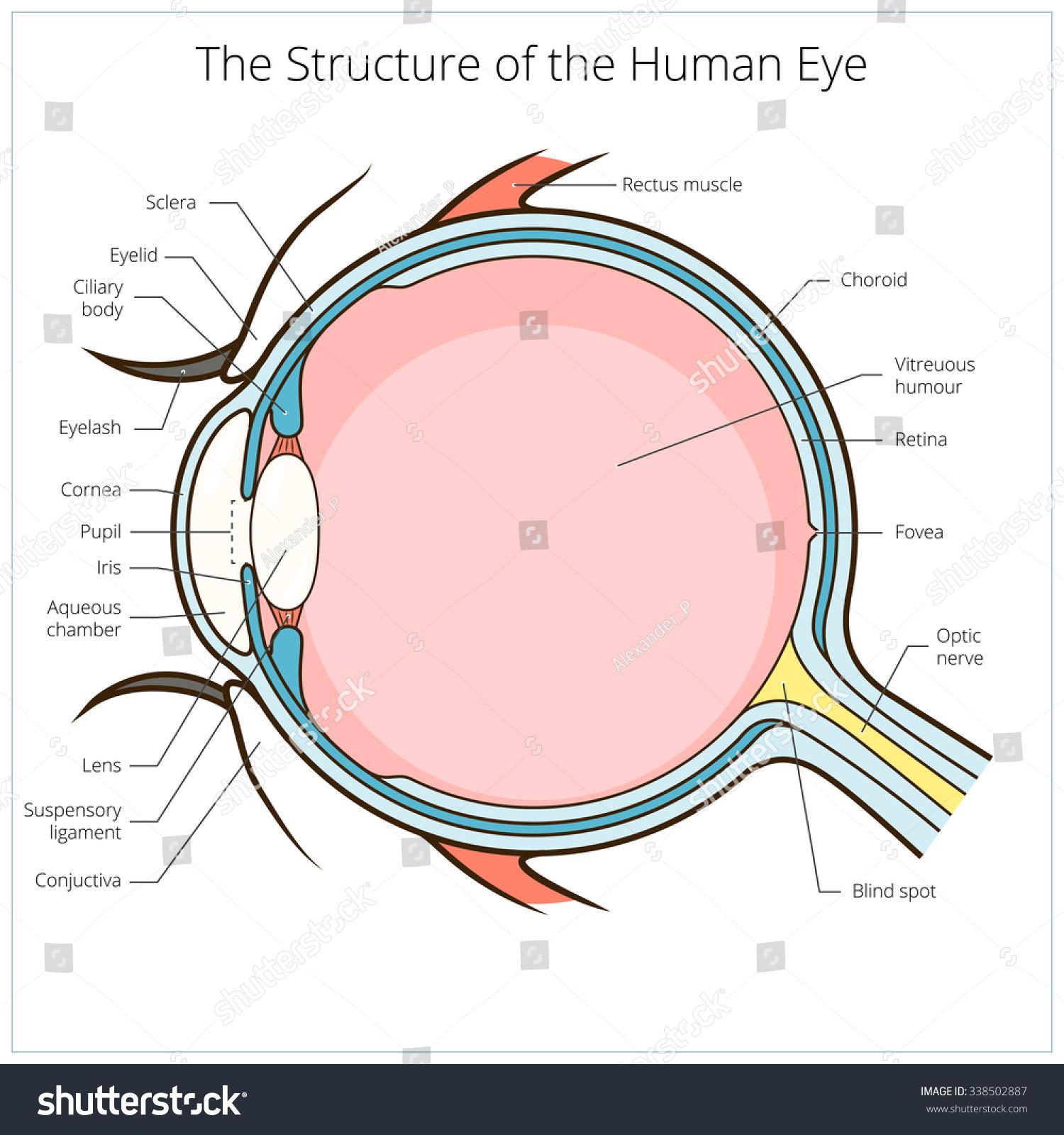 Human Eye Structure Scheme Medical Vector Stock Photo (Photo, Vector ...
