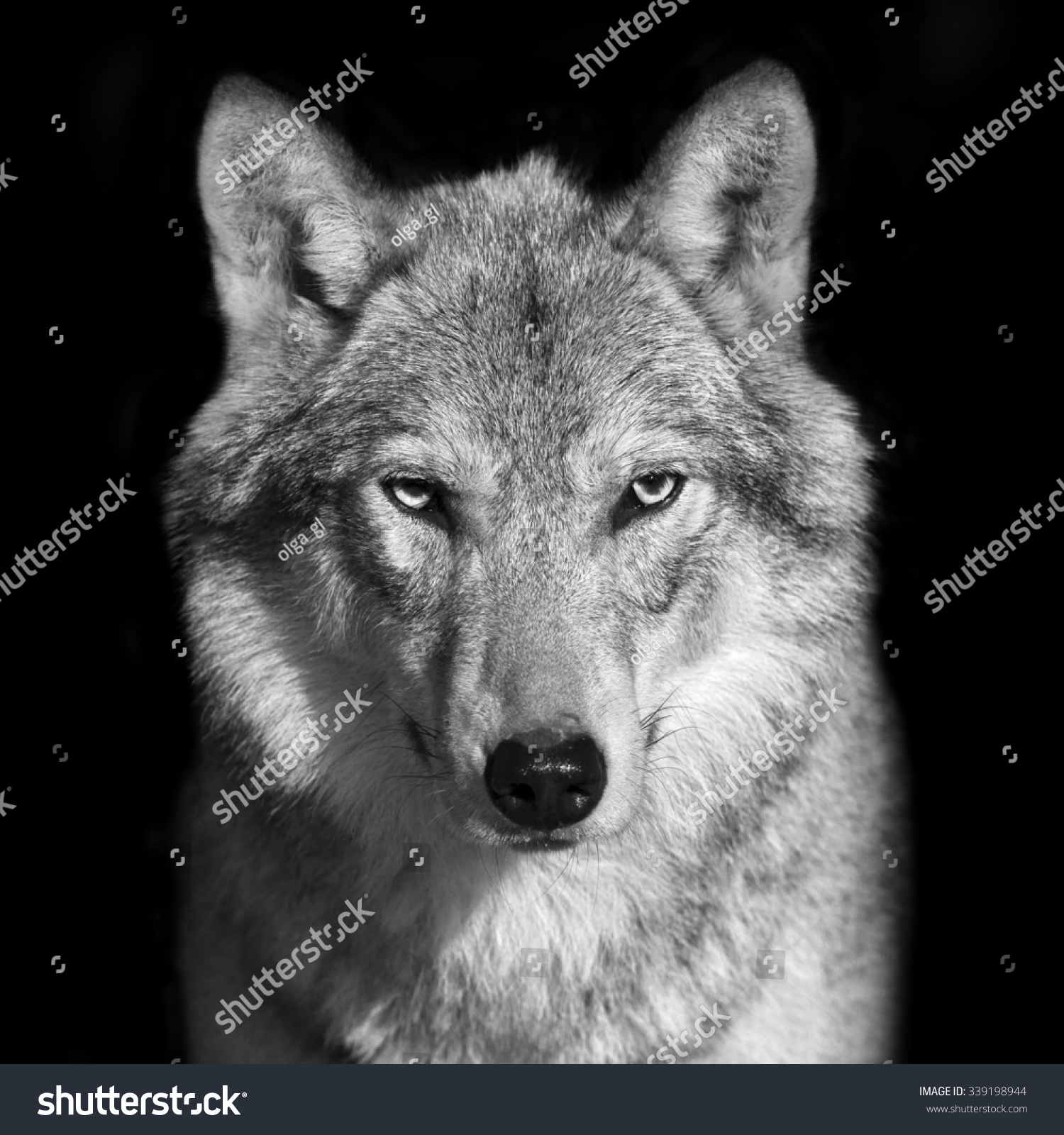 The white wolf black and white photography