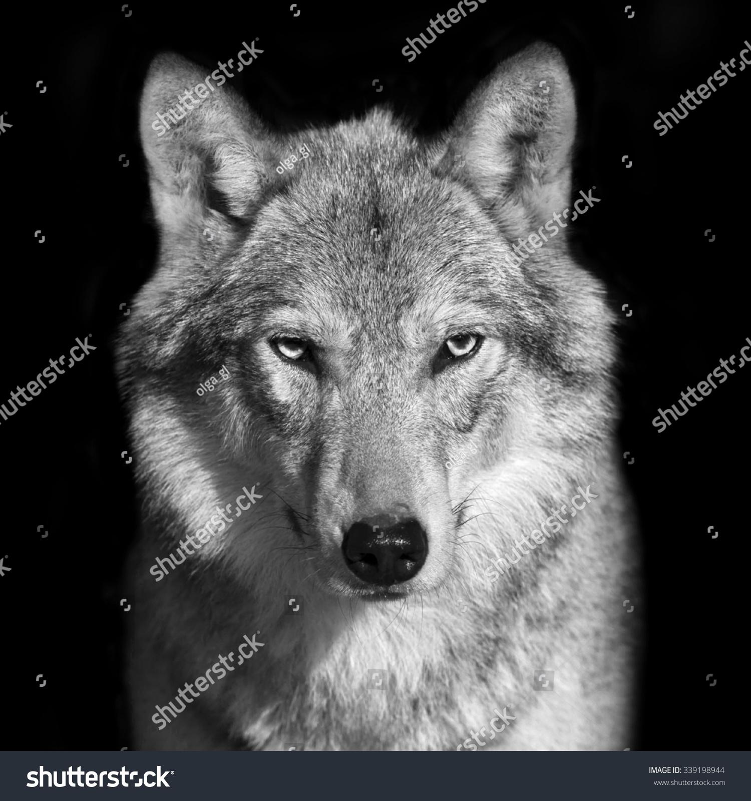 Black White Close Portrait Grey Wolf Stock Photo 339198944