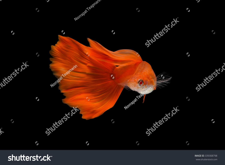 Super Red Guppy Guppy Multi Colored Fishin Stock Photo (Royalty Free ...