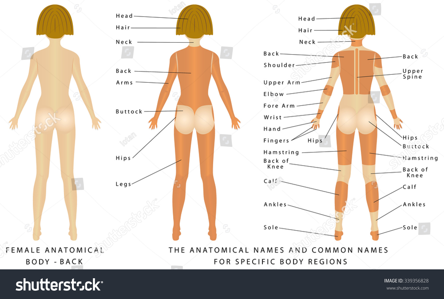 Female Body Back Surface Anatomy Human Stock Vector Royalty Free