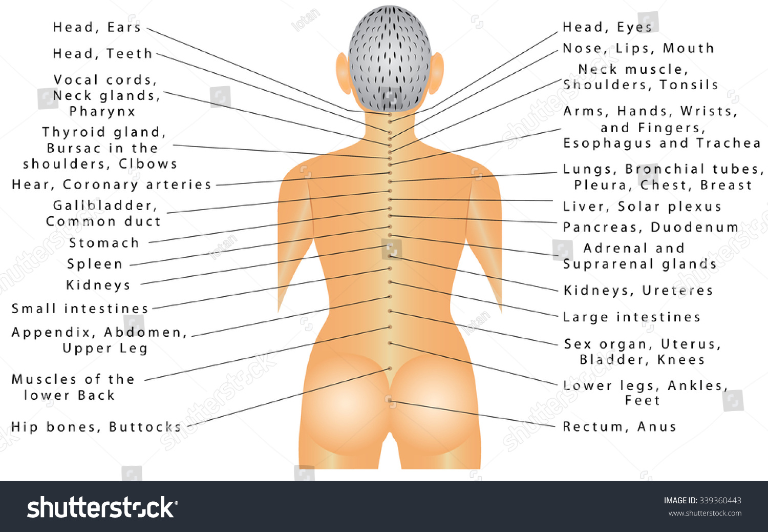 Spine Organ Correlation Spine Connected All Stock Vector Royalty
