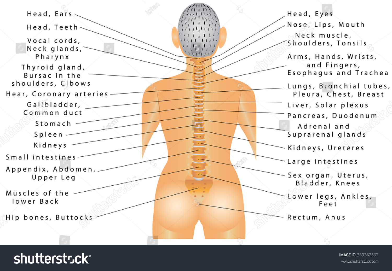 Spine All Organs Spine Organ Function Stock Vector Royalty Free