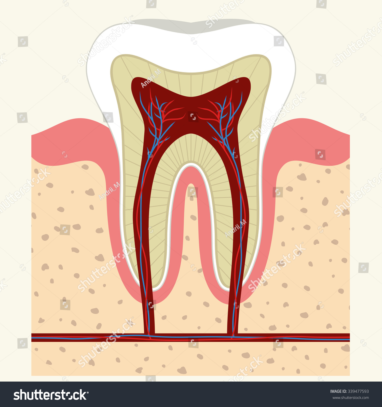 Human Tooth Gum Cross Section Tooth Stock Vector (2018) 339477593 ...