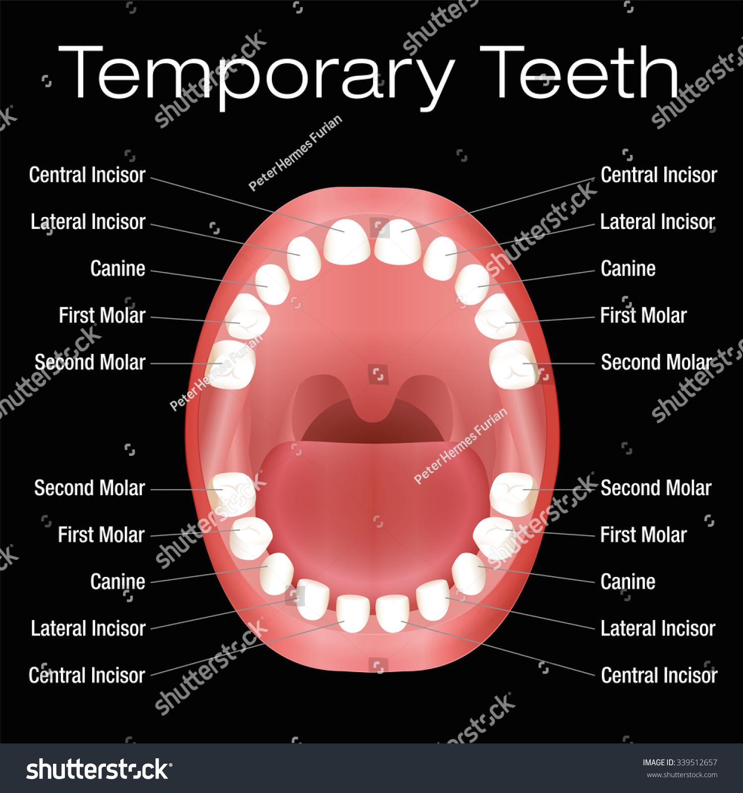 Primary Teeth Temporary Teeth Names Vector Stock Vector 339512657 ...