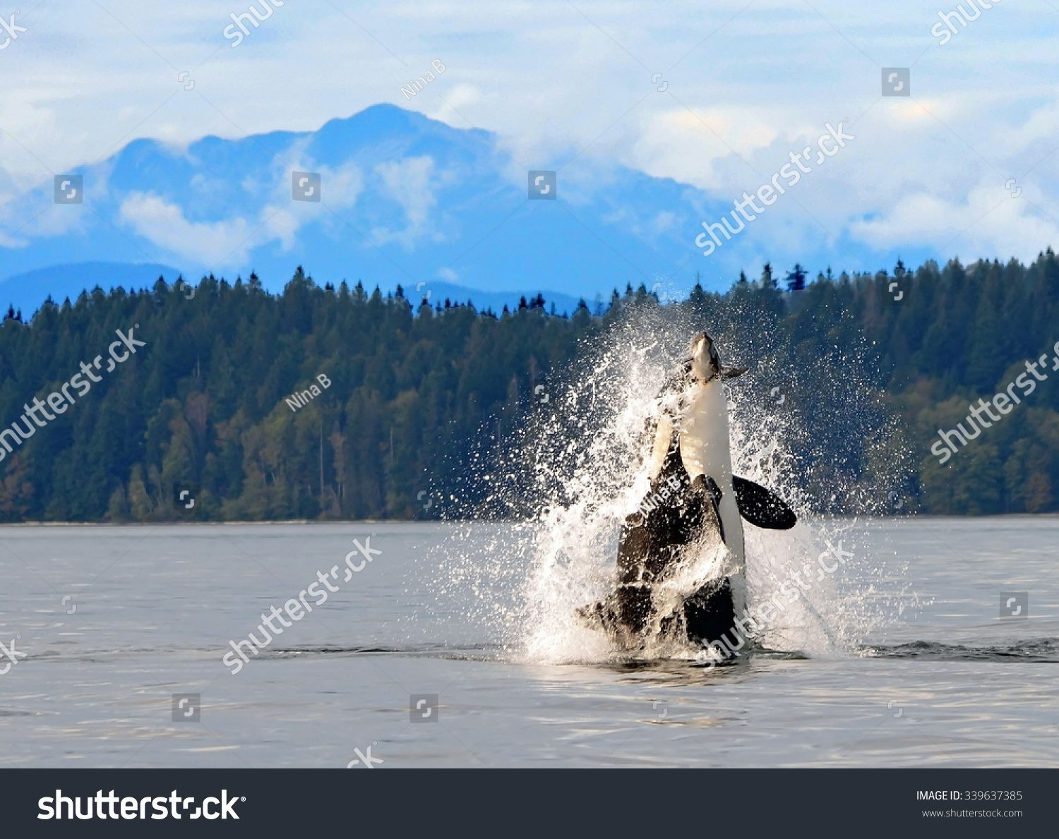 Orca Breaching In Discovery Channel, Near Campbell River, British Columbia,  With A Captured