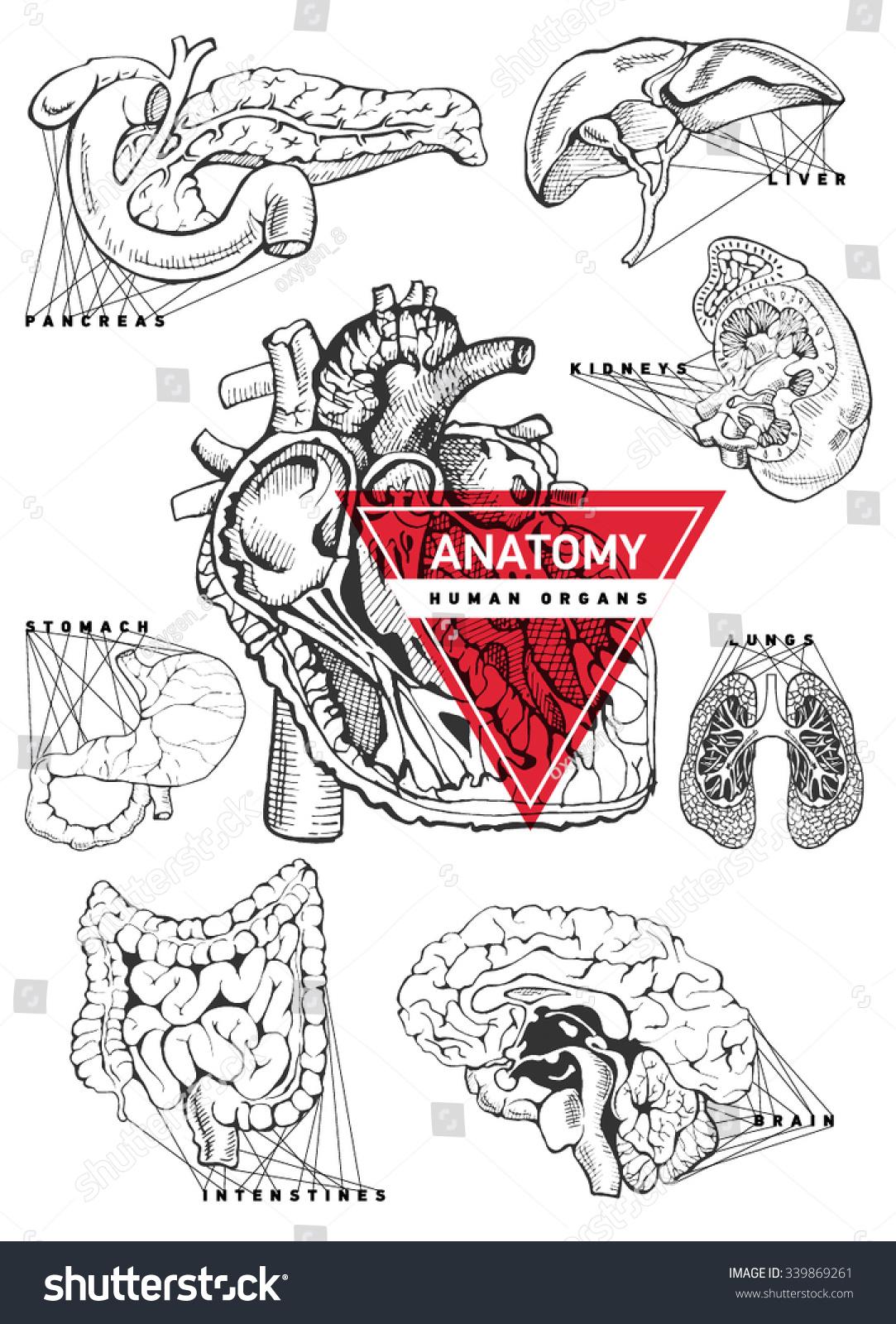 Human Organ Anatomy Set Hand Drawing Stock Vektorgrafik Lizenzfrei