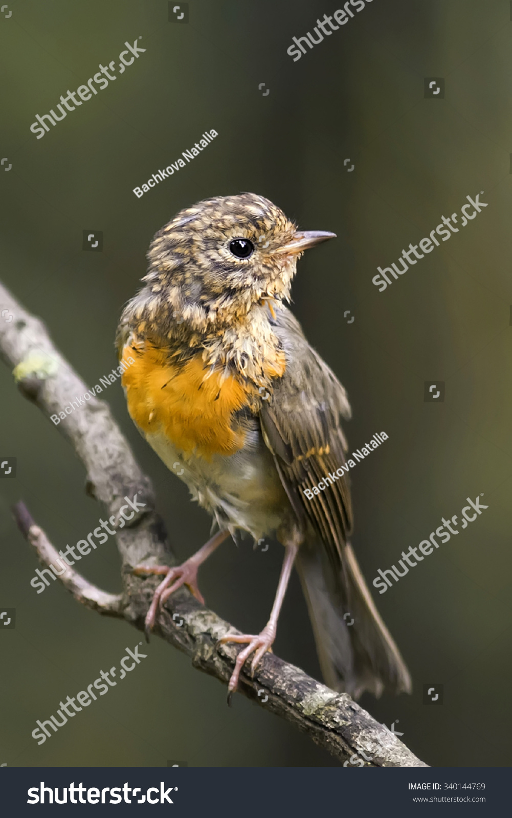 a small bird of the Robin with a red breast on wood