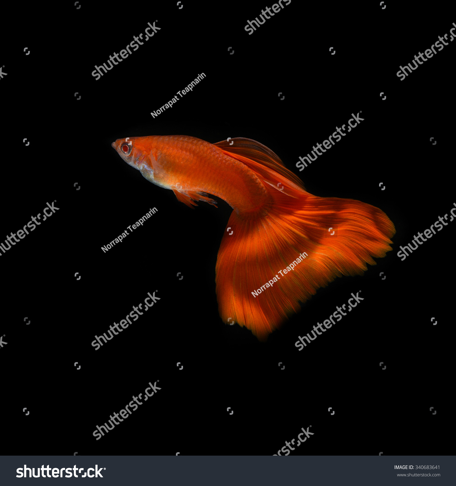 Royalty-free Super Red Guppy,Guppy Multi Colored… #340683641 Stock ...