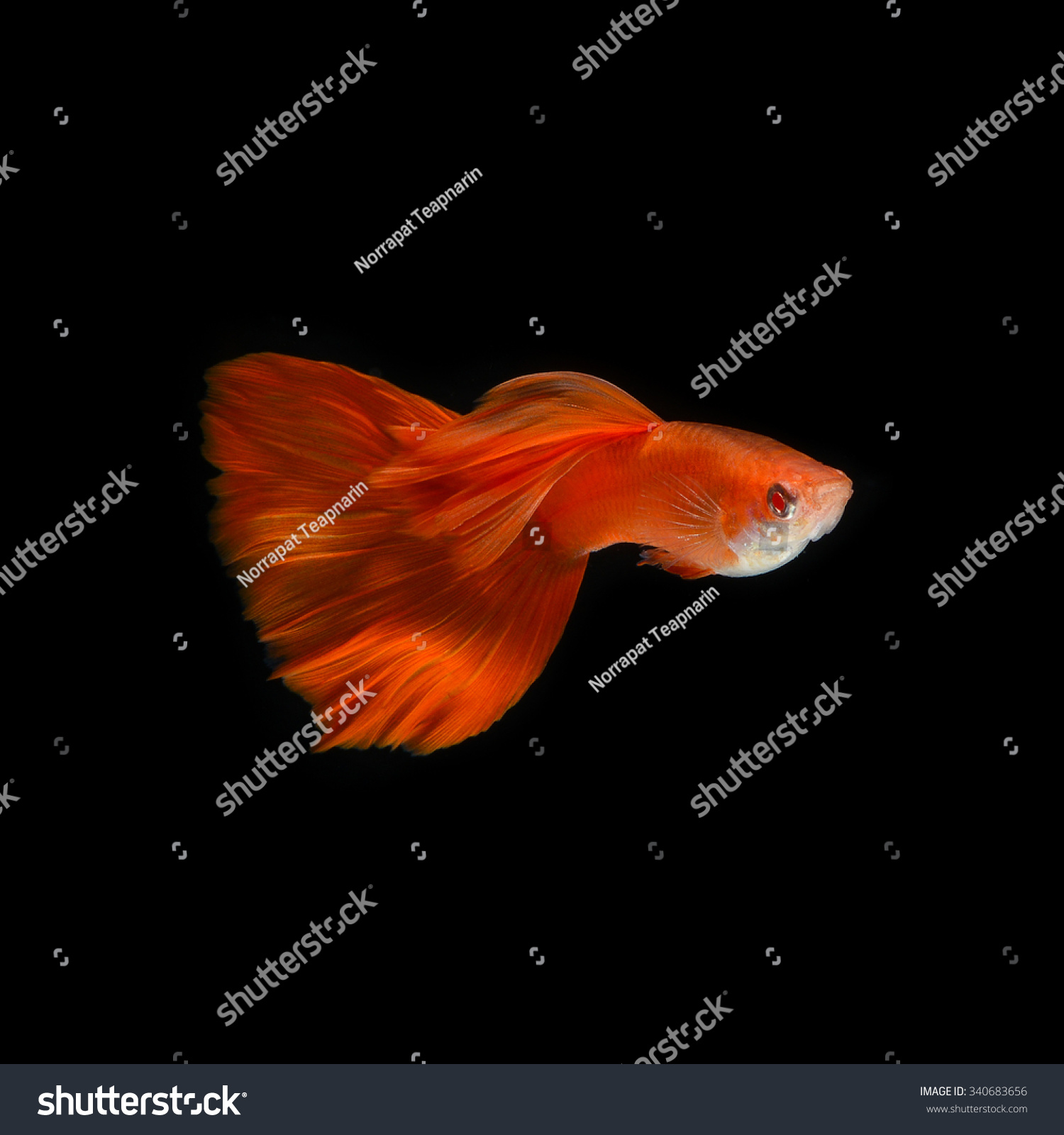 Super Red Guppy Guppy Multi Colored Fishin Stock Photo (Royalty Free ...