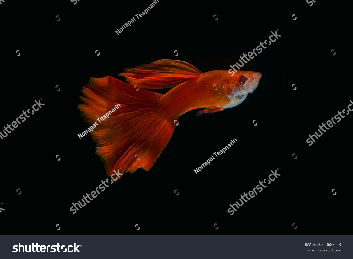 Royalty-free Super Red Guppy,Guppy Multi Colored… #340683668 Stock ...