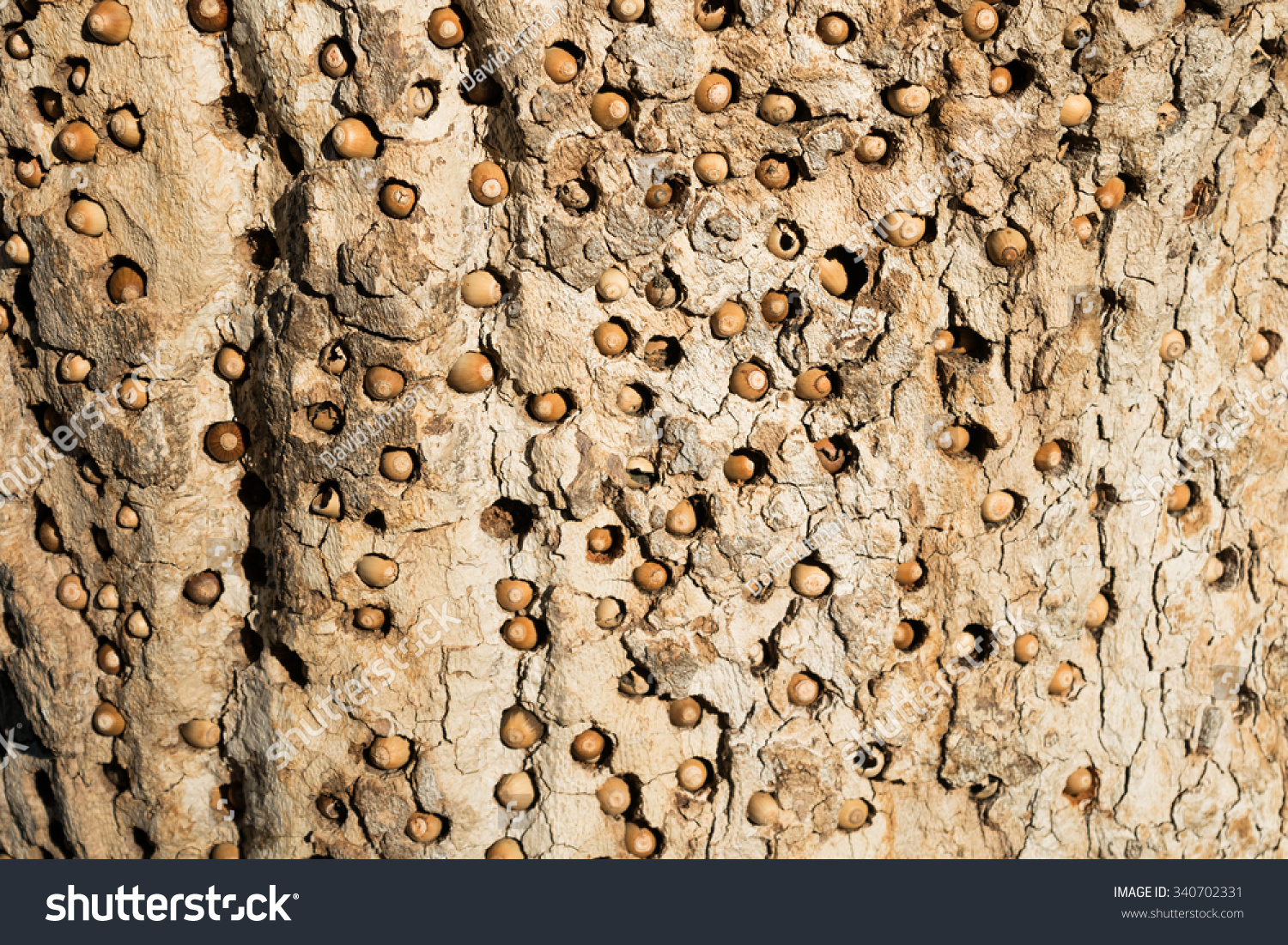 The Acorn Woodpecker (Melanerpes formicivorus) makes holes in tree bark to store acorns, leaving a distinctive pattern (texture), in the hills of Monterey, California.