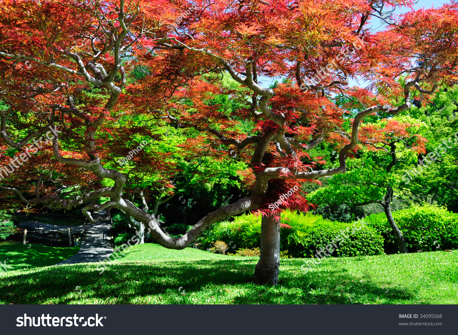 Maple Tree In A Japanese Water Garden