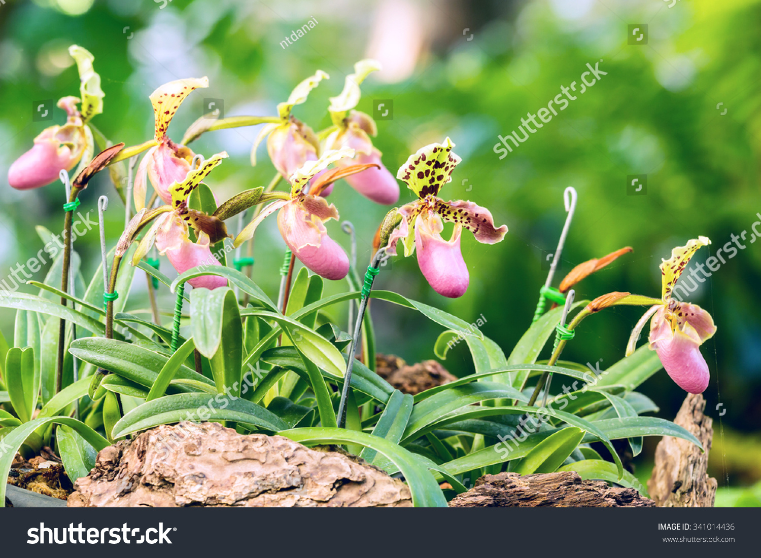Group Purple Pink Lady Slipper Orchid Stock Photo Edit Now