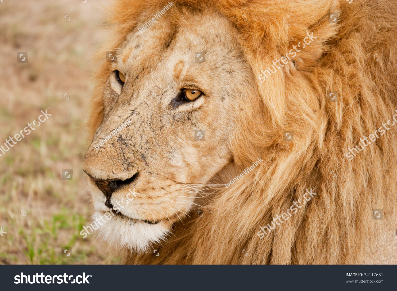 Male Lion King Of The Jungle Stock Photo 34117681