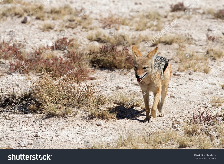 Black-backed jackal (Canis mesomelas) walking towards a water hole in Etosha National Park, Namibia. Shallow depth of field.