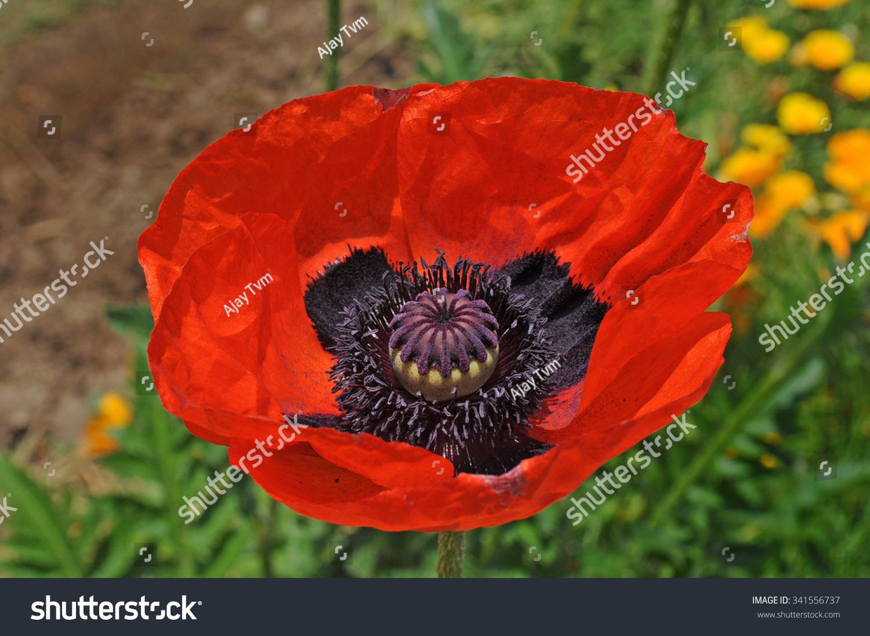 papaver somniferum close red black opium stock photo 341556737
