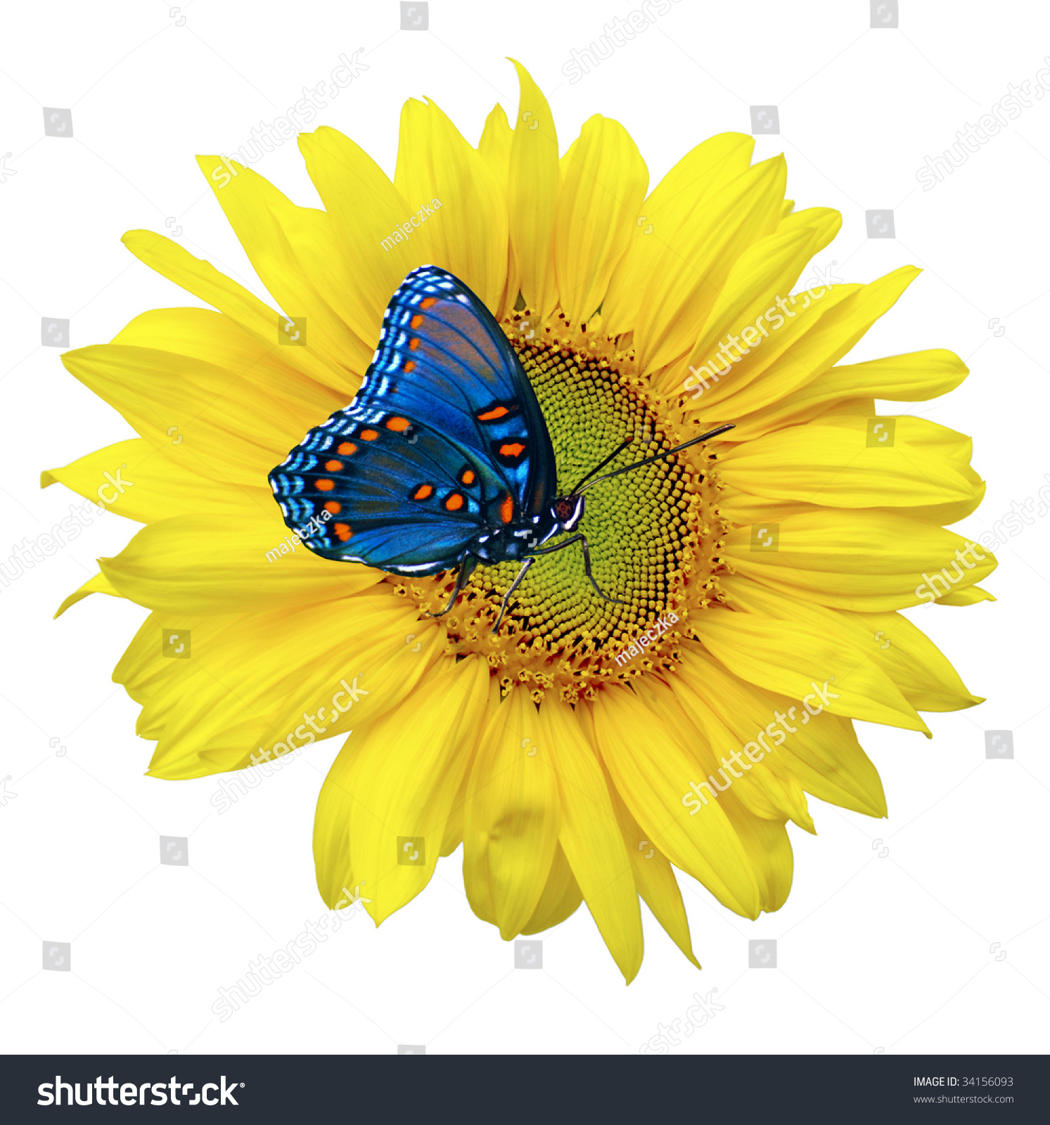 Beautiful Sunflower With Blue Butterfly Stock Photo ...